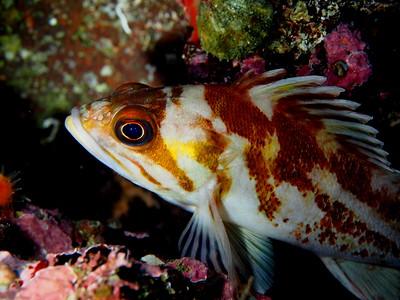 Sebastes caurinus (copper rockfish)
