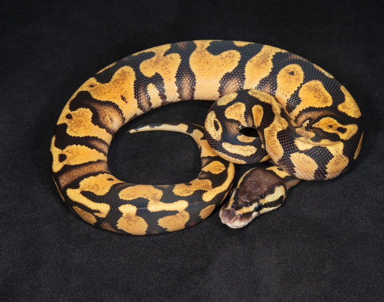 #2096, Female Pastel Gravel/Yellow Belly, $200