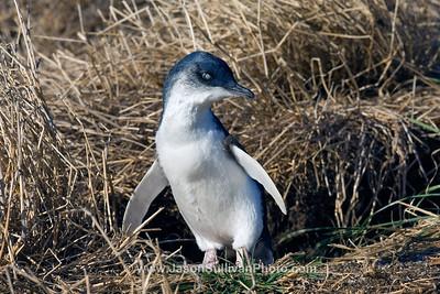 Phillip Island - Victoria Australia