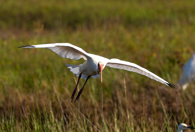 A White Ibis lands come in to the flock ...