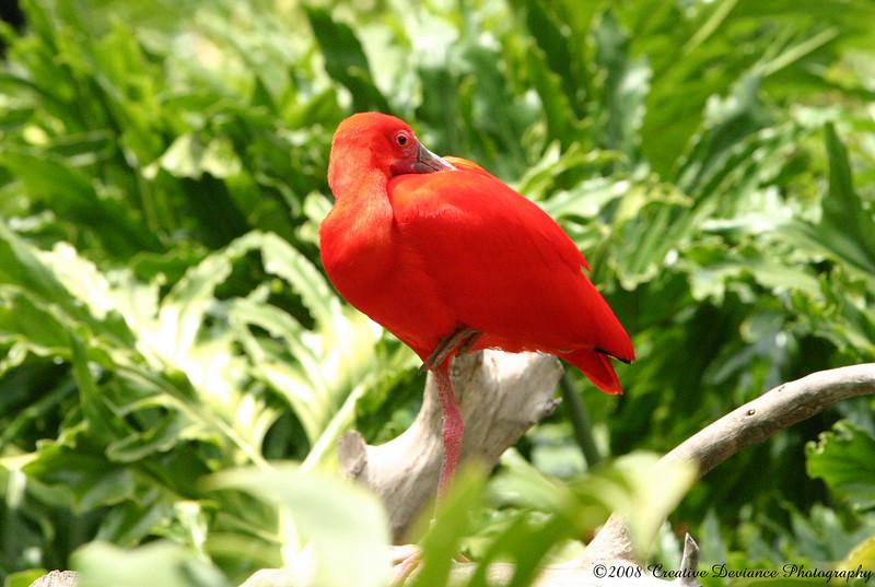 Scarlet Ibis2.JPG