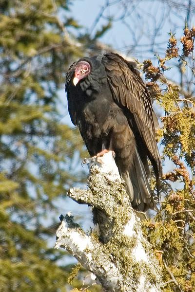 Vulture - Turkey - Sawbill Trail - MN