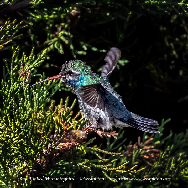 _DSC4756road-billed Hummingbird wings.jpg