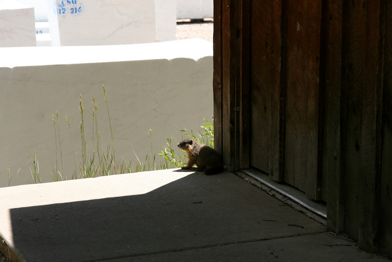 Marmot living at the outhouse.