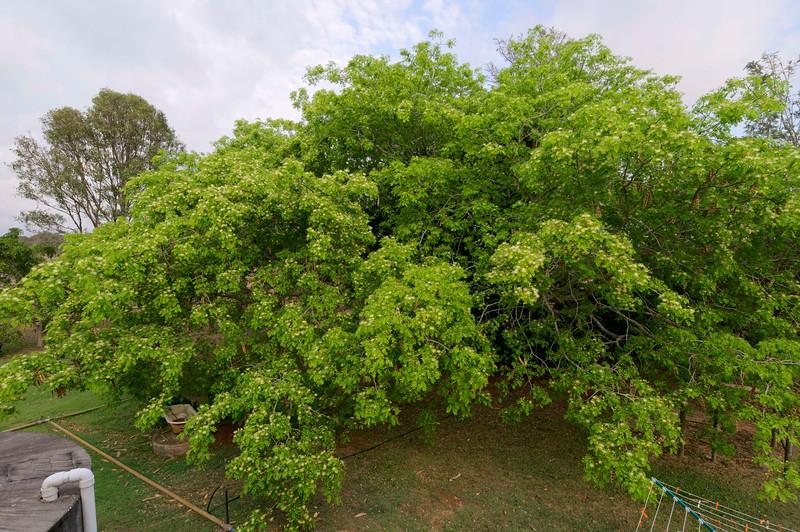 Rain tree flower 11.jpg