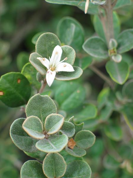Correa alba / White Correa