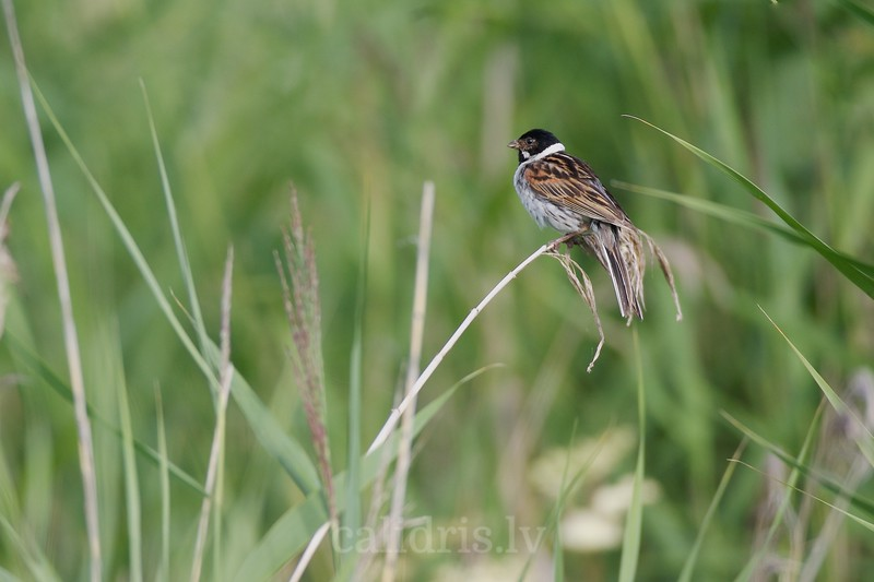 Male Reed bunting perched on a reed