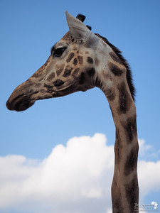 Extremely long neck