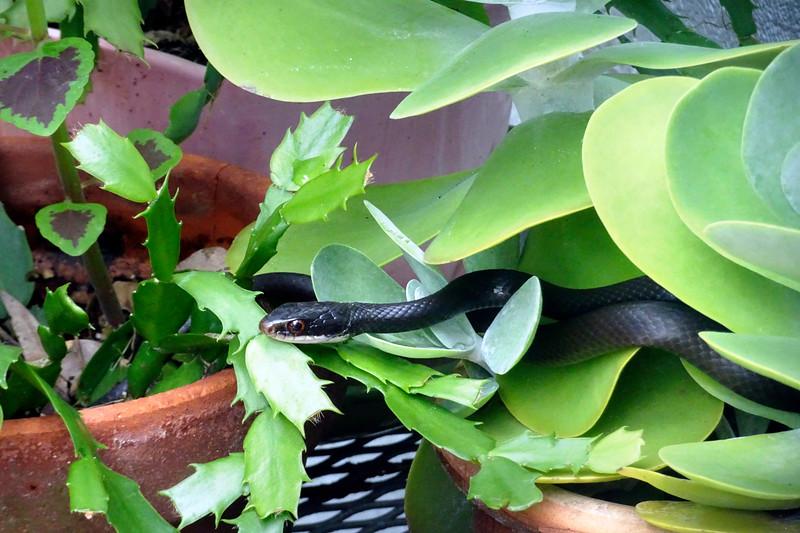 9_24_19 Black Snake Coiled Up In Flower Pot.jpg