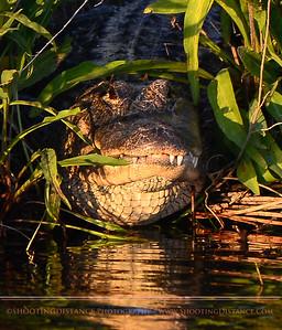 Big, Big Gator, Anahuac Refuge, TX