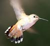 Rufous Hummingbird 2 PSE IMG_4134
