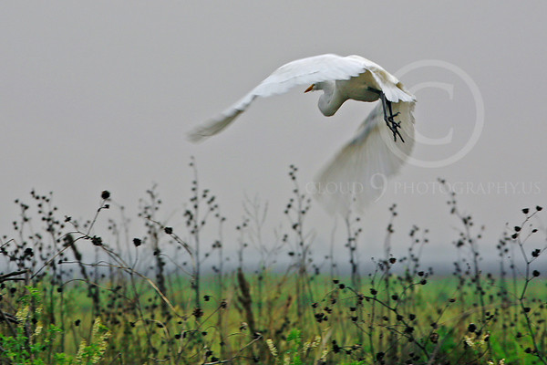 Great Egret Wildlife Photography