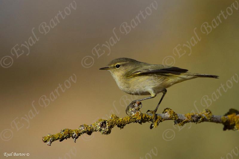 Willow Warbler (Phylloscopus trochilus)- עלווית אפורה