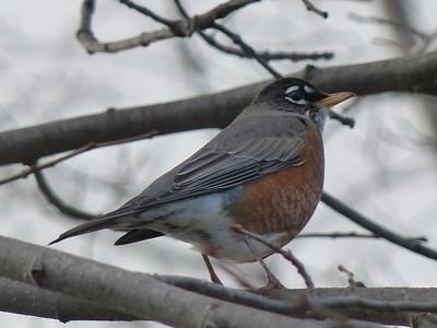 20141114 American Robin