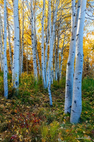 Grove of Aspen