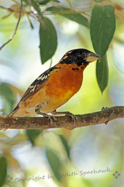 Black-headed Grosbeak ~ This pretty grosbeak was photographed in Madera Canyon in the Santa Rita Mountains in southeastern Arizona.