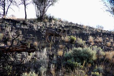 kamloops Muley