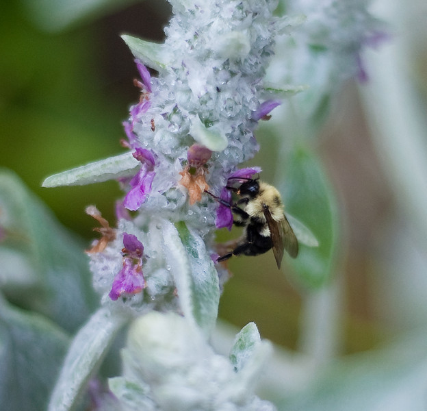 Bee on Lambs Ear