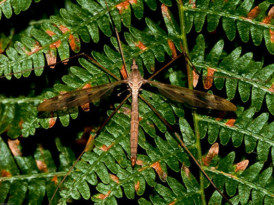 Crane-fly (Tipula paludosa)