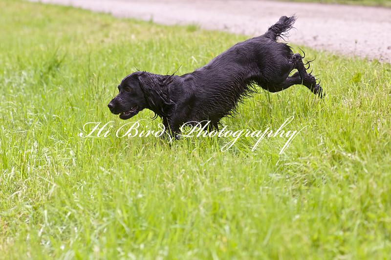 black cocker 3 102.jpg