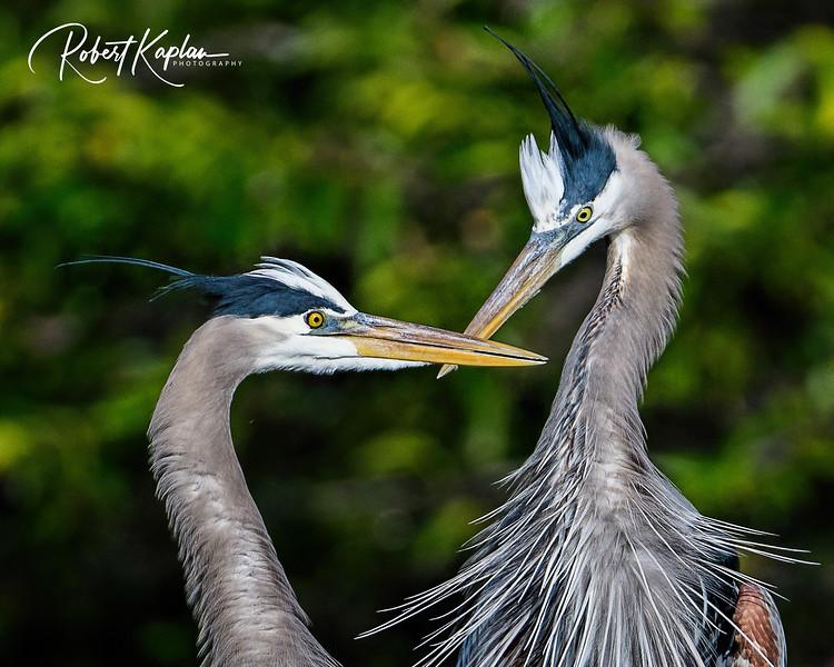 Great Blue Heron-9975.jpg