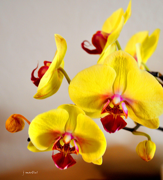 yellow orchid 11-26-2012.jpg