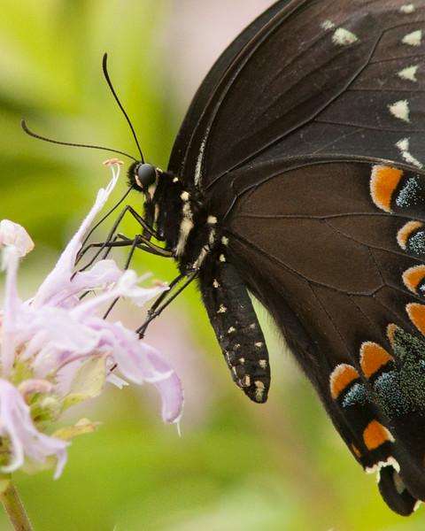 Mitchell Memorial swallowtail (1 of 1).jpg