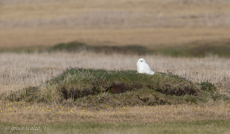 Snowy Owl on Tundra Mound