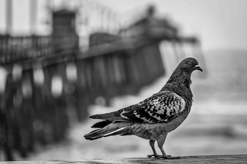 Pier Bird