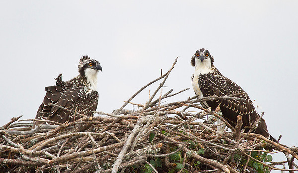 Ospreys at Nags Head, NC 7/12 & 7/12/10