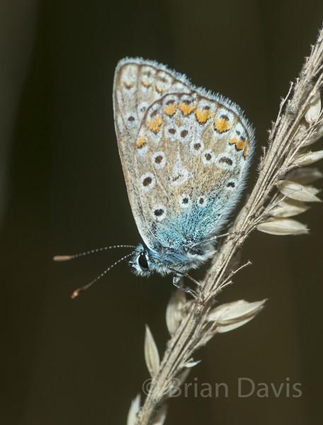 Butterflies 1 (A to P)