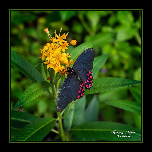 sm dark butterfly with red spots.jpg