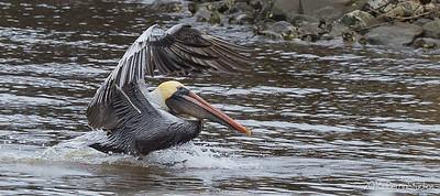 Pelican Frenzy.