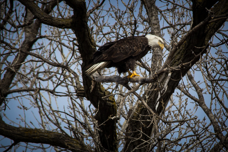 Eagle sitting-7038.jpg