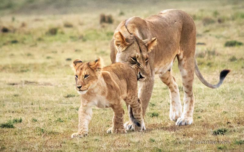 Lioness Nudging Cub-6819 dgrin w copyright.JPG