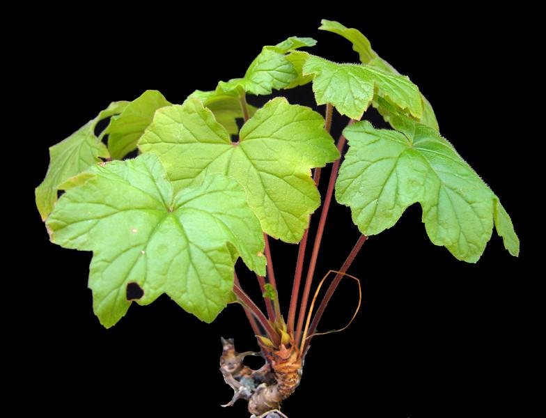 Pelargonium traansvalensis