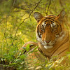 Tiger resting in green bushes of Ranthambore