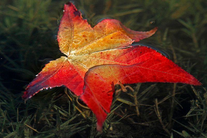 WB~maple leafpond1280.jpg
