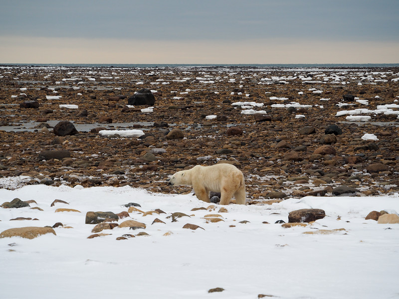 Polar bear at the Hudson Bay at low tide