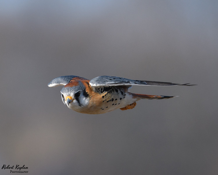 Kestrel in FLight-3711.jpg