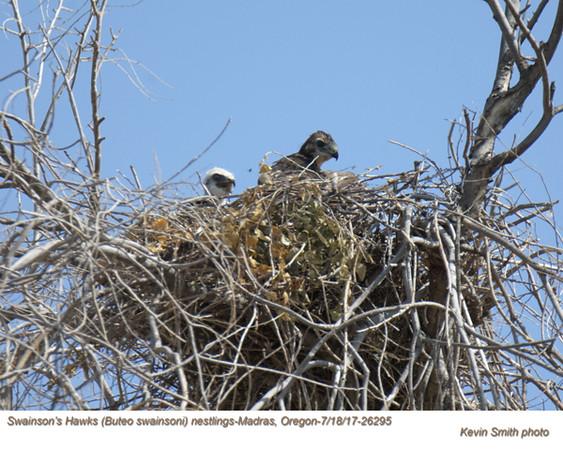 Swainson's Hawks N26295.jpg