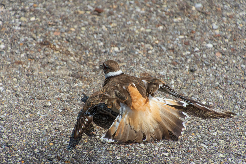 Killdeer-Lowes-brokenwingdisplay.jpg