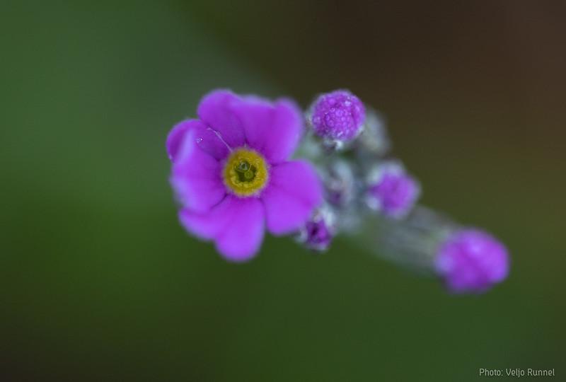 Pääsusilm, Primula farinosa