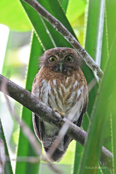 Mindanao Hawk Owl