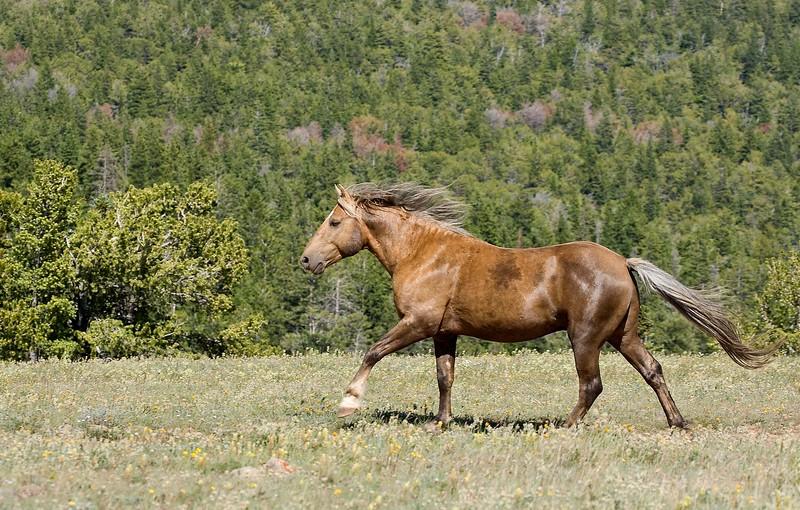 Pryor Mountain Wild Mustang , Boulder
