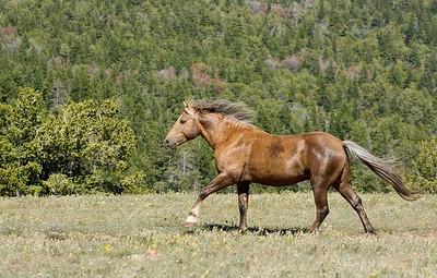 Pryor Mountain Wild Mustangs