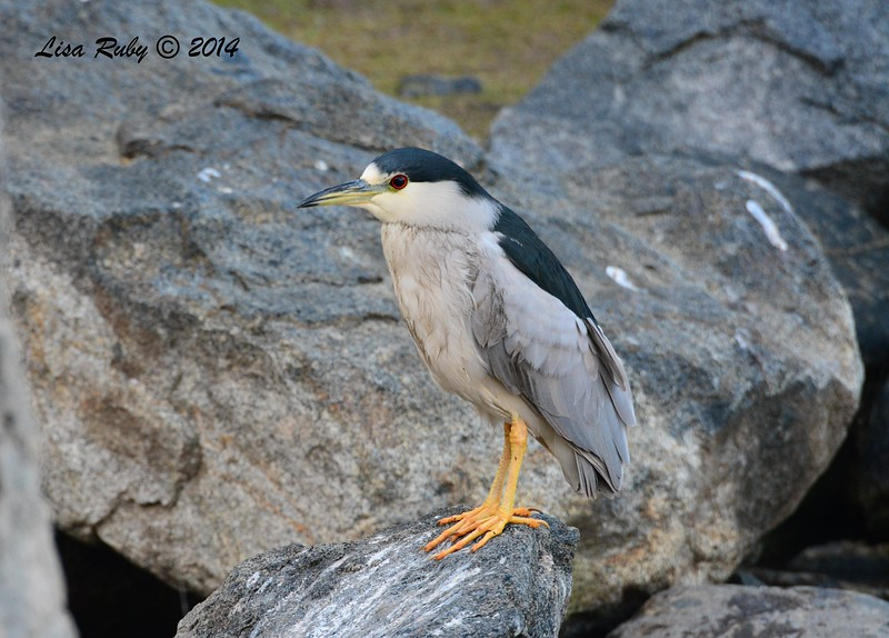 Black-crowned Night Heron  - 1/3/2015 - RB CBC - Webb Park
