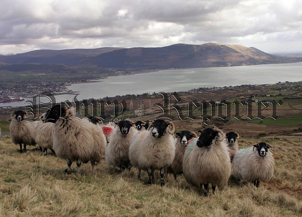 The rural  scene over looking  Carlingford Lough and the Mourne Mountains.   Picture Mark Pearce