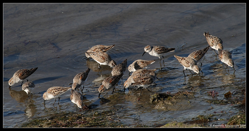 Western Sandpipers searching for food, Robb Field, San Diego River, San Diego County, California, April 2009