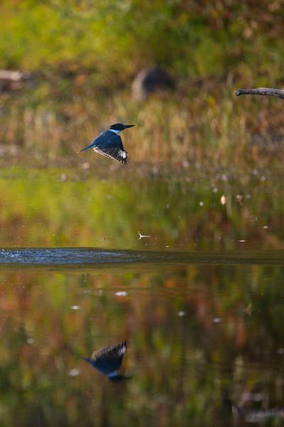 Kingfisher_7454lowres.jpg